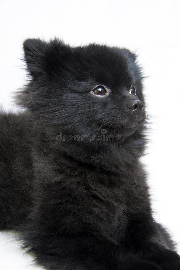 Pomeranian lie down stock image