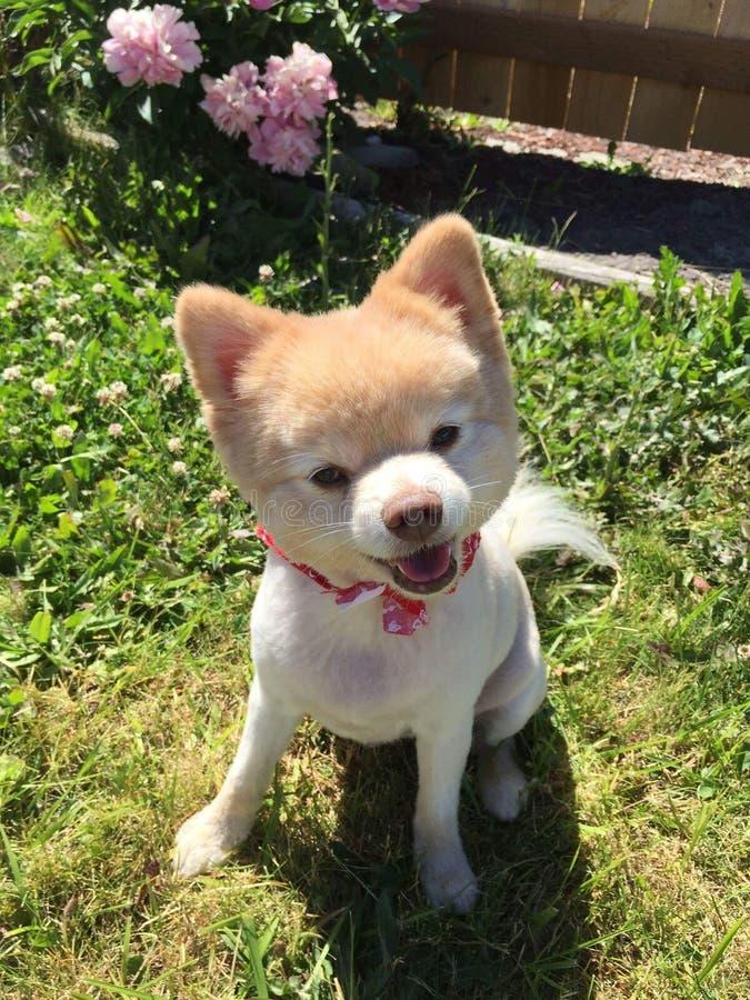 Pomeranian blanc images stock
