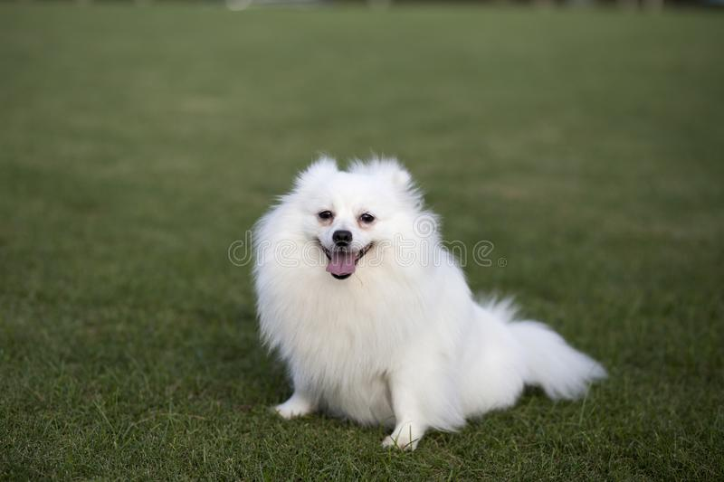 Pomeranian. BOM is a compact, short back, and active dog. The school name hadori, a BBO commonly known as the British BOM, is one of the German fox dogs, which royalty free stock photography