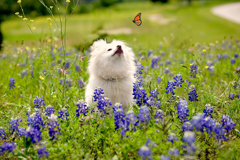 Dog in a bluebonnet field stock photography