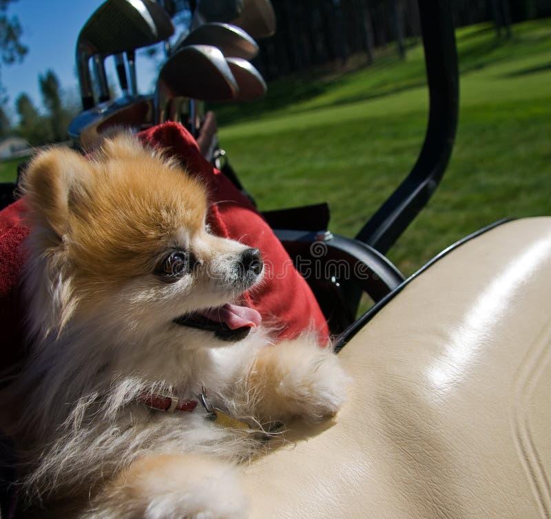 Pomeranian in carrello di golf immagini stock libere da diritti