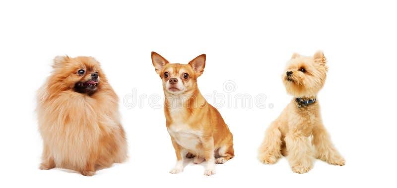 Pomeranian, chihuahua e Yorkshire terrier isolati su un bianco immagine stock