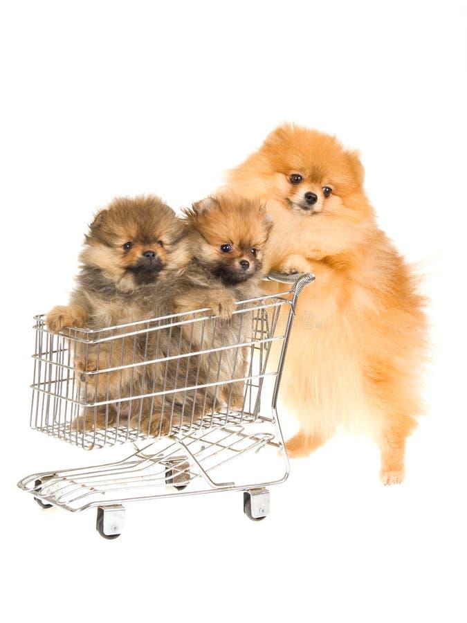 Pomeranian con due pups in carrello di acquisto immagini stock libere da diritti