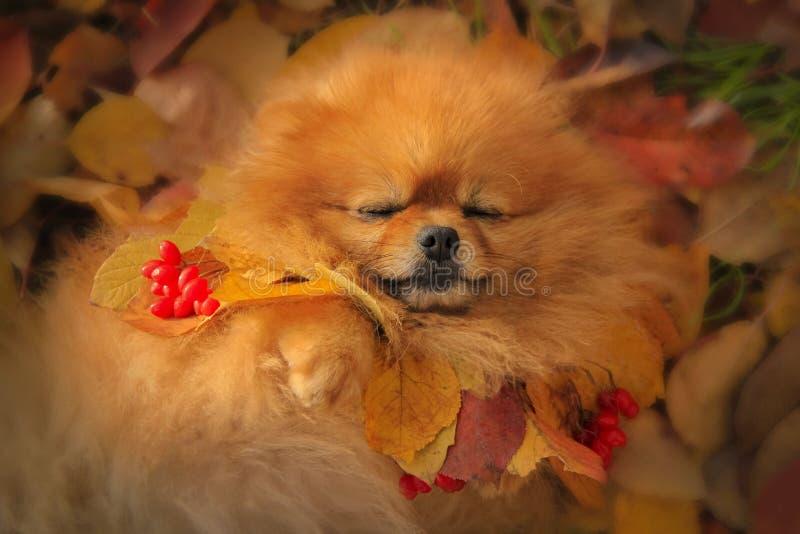 Pomeranian in de herfstbladeren royalty-vrije stock fotografie