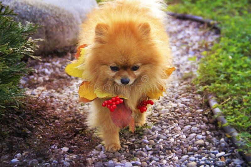 Pomeranian in de herfstbladeren royalty-vrije stock afbeelding