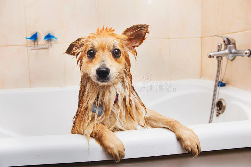 Pomeranian dog in the bathroom Spitz dog in the washing process with shampoo close up stock image