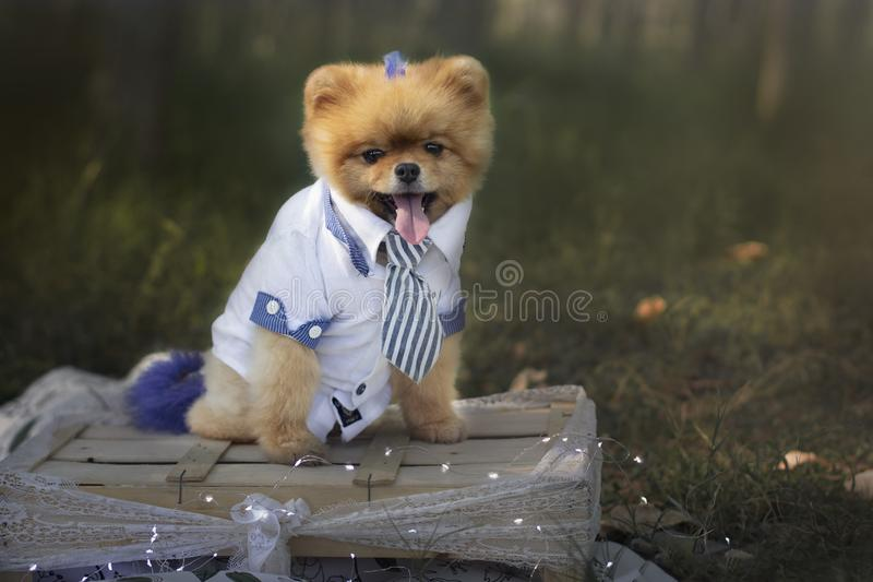 A pomeranian dog with a business suit royalty free stock images