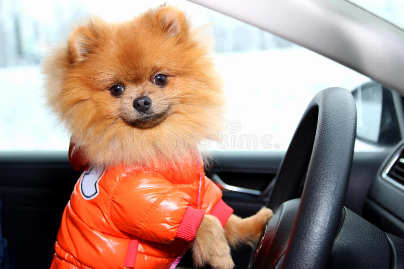 Pomeranian dog in car. Cute dog in car. Pomeranian dog in car. Cute dog on car stock photo