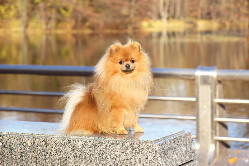 Amazing German Spitz Canine Adorable Dog - pomeranian-dog-cute-autumn-pomeranian-dog-dog-park-serious-dog-serious-dog-64562556  Perfect Image Reference_41659  .jpg