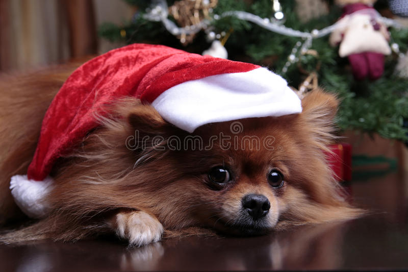Pomeranian dog in a hat of Santa Claus lying under the Christma stock photos