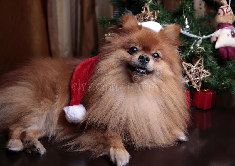 Pomeranian dog in a hat of Santa Claus sitting under the Christ royalty free stock photo