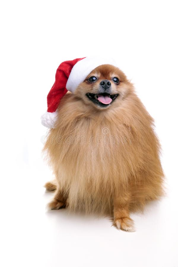 Pomeranian dog in a hat of Santa Claus symbol of the new year 2 stock image