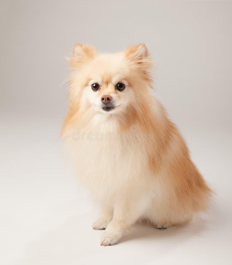 Pomeranian dog - high key, not. Pomeranian dog posed on a graduated tone background royalty free stock images