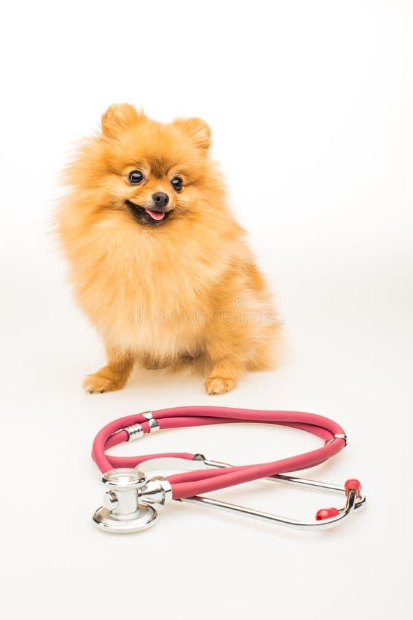 Pomeranian dog isolated on white with red phonendoscope.  royalty free stock photo