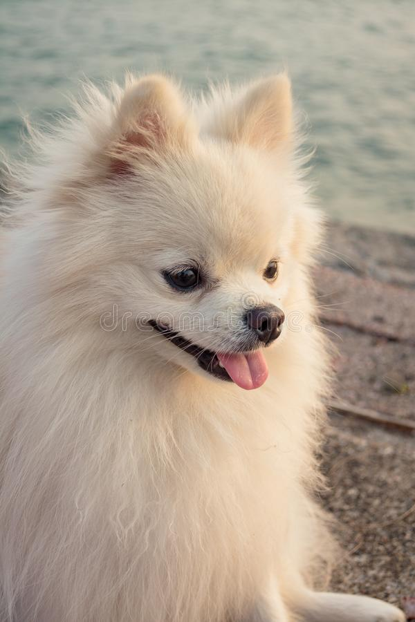 Close-up Pomeranian dog at the sea royalty free stock images