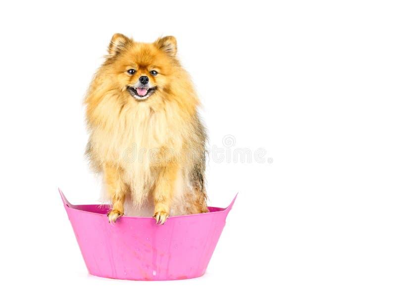 Pomeranian dog prepare to taking a bath standing in pink bathtub royalty free stock photo