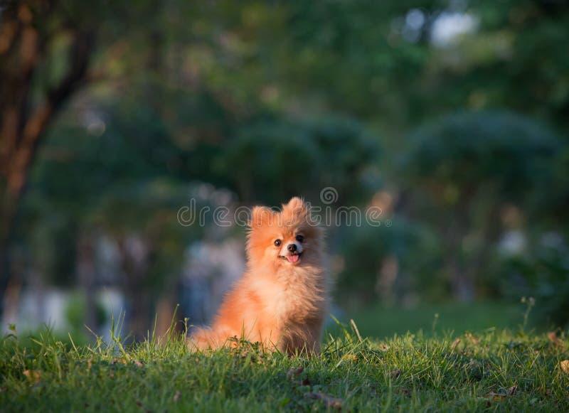 Pomeranian Dog Sitting On Green Grass Royalty Free Stock Photography
