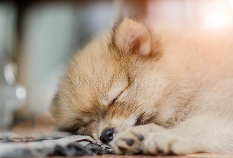 Pomeranian dog sleeping on the at home stock image