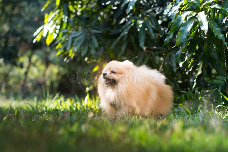 Pomeranian dog walking on the grass outdoor with trees in the background. This pomeranian dog is playing and running on the grass royalty free stock image