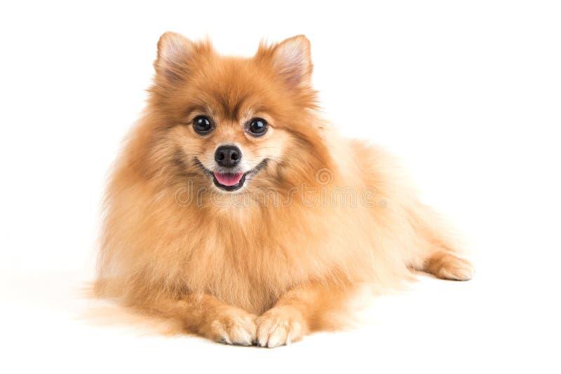 Pomeranian dog. On white background stock photo