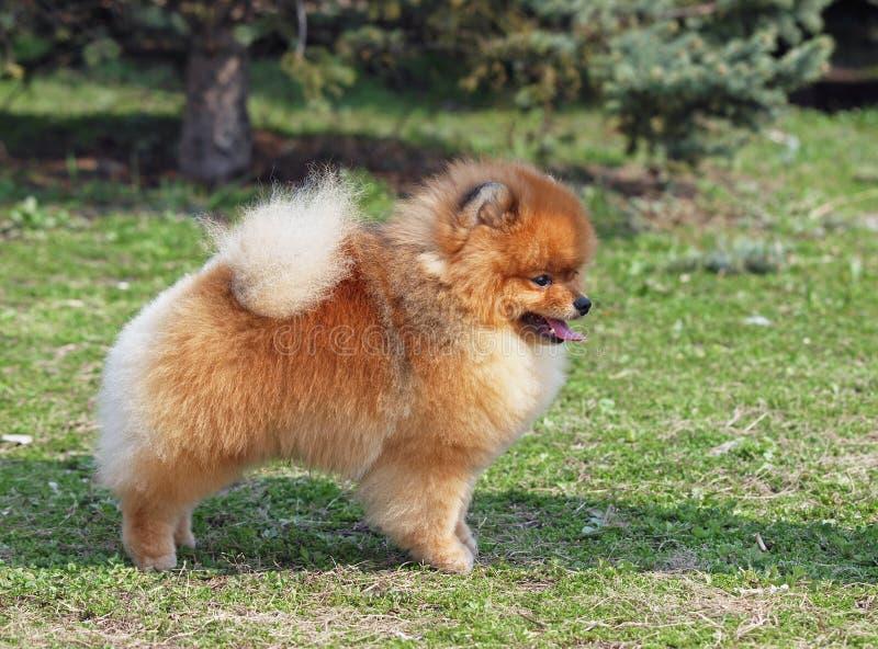 Pomeranian dvärg- Spitz på en grön gräsmatta royaltyfri bild