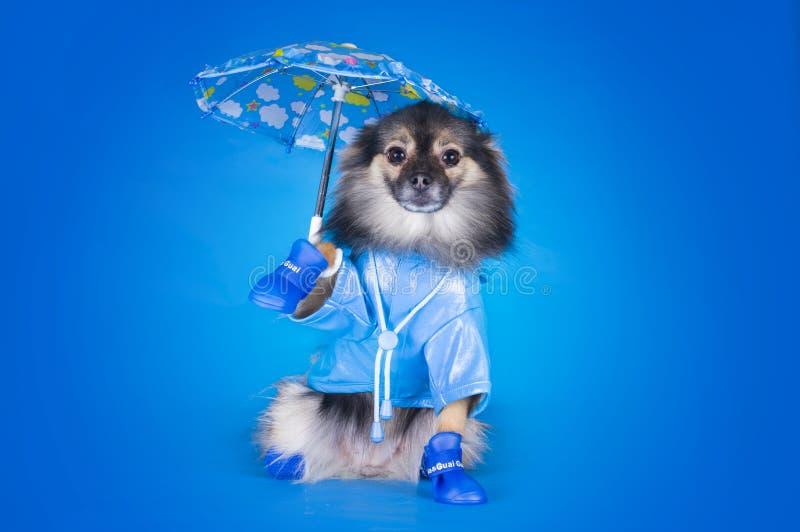 Pomeranian in einem Regenmantel mit dem Regenschirm lokalisiert auf einem blauen backgr stockfoto