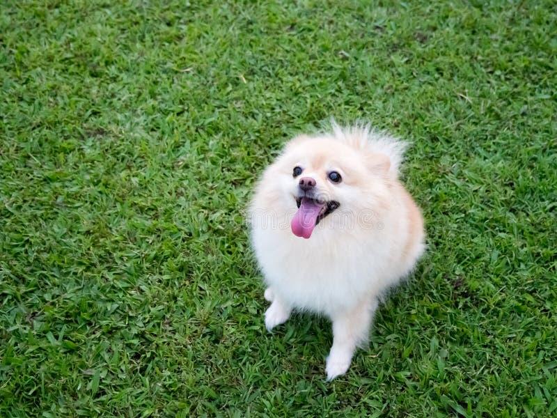Pomeranian en el césped imágenes de archivo libres de regalías
