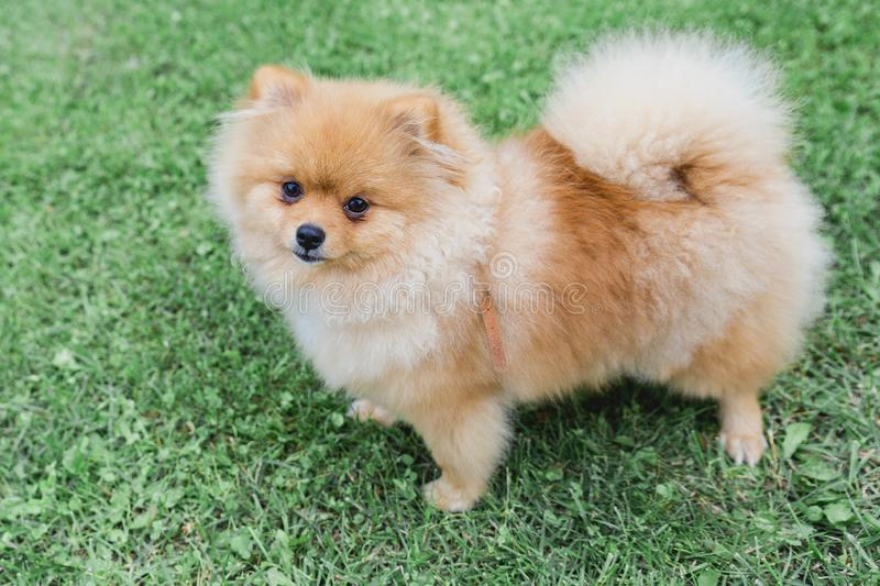 Pomeranian in the entire growth is worth on green the grass.  stock images