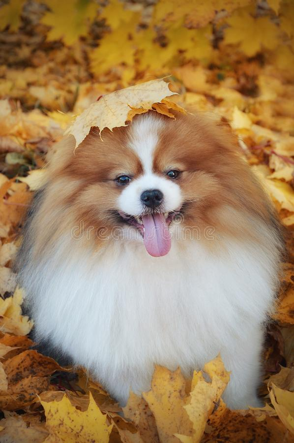 Pomeranian in the fall leaves stock photos