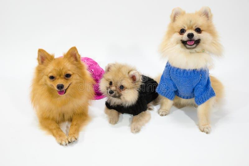 Pomeranian-Familie am Studio lizenzfreies stockbild