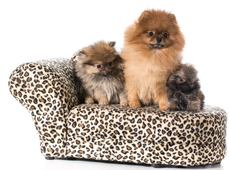 Pomeranian familj arkivbilder