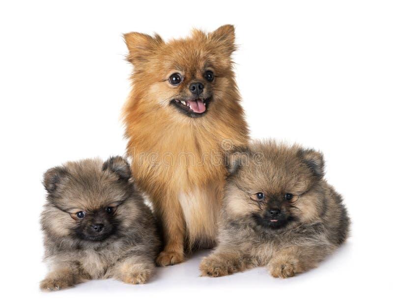 Pomeranian familj i studio fotografering för bildbyråer