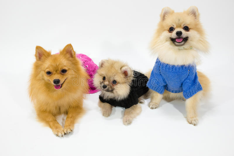 Pomeranian familj på studion royaltyfri bild