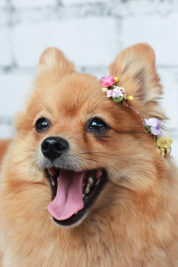 Pomeranian felice fotografia stock libera da diritti