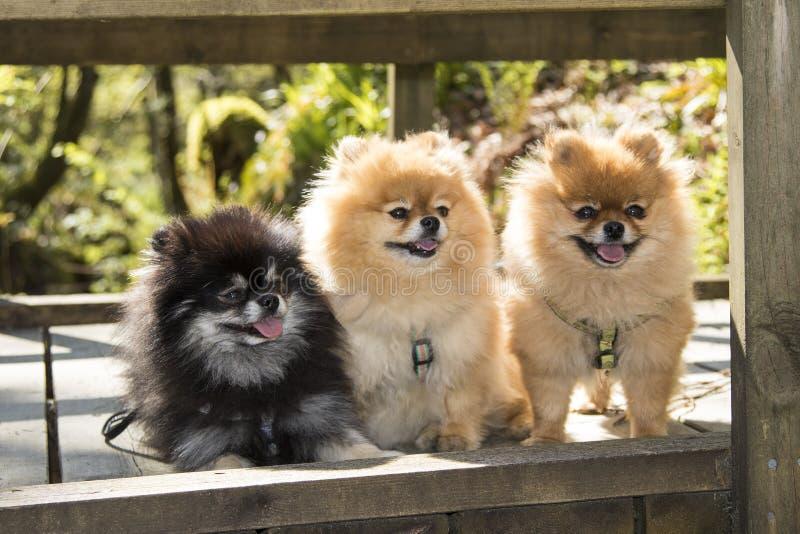 Pomeranian - fotvandra ut royaltyfri bild