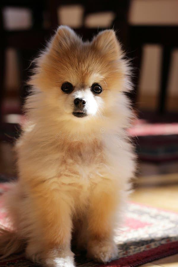 pomeranian gullig hund fotografering för bildbyråer