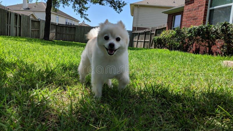 Pomeranian Haru наслаждаясь двором стоковые фото
