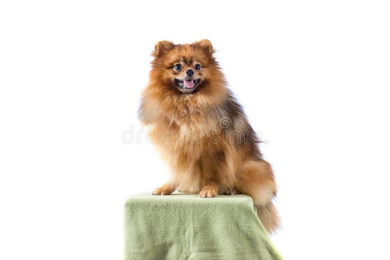Pomeranian Hund auf weißem Hintergrund stockfoto