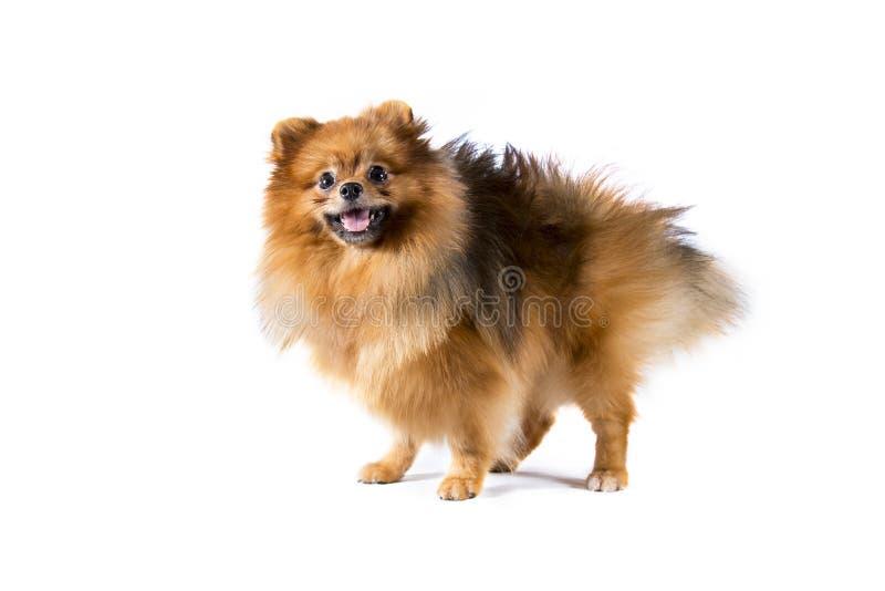 Pomeranian Hund auf weißem Hintergrund stockfotografie