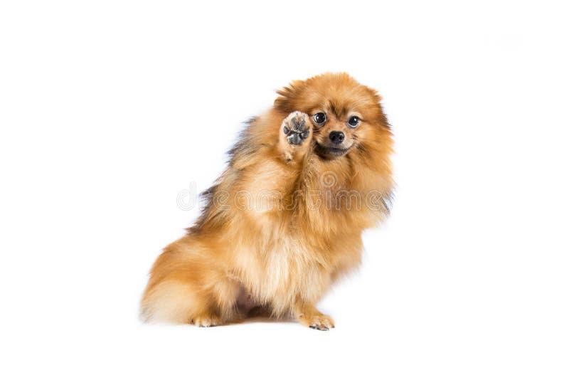 Pomeranian Hund auf weißem Hintergrund lizenzfreie stockbilder