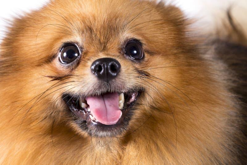 Pomeranian Hund auf weißem Hintergrund lizenzfreies stockbild