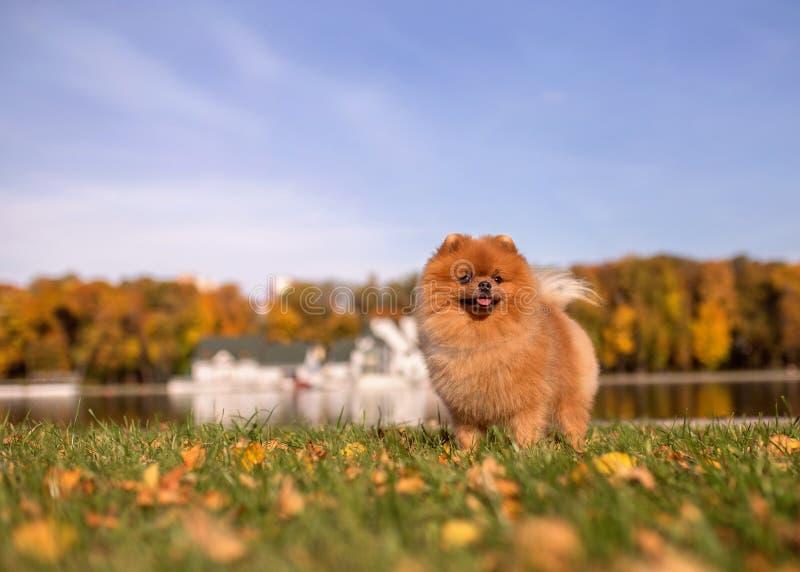 Pomeranian-Hund, der in Herbstpark geht Schöner und netter Hund lizenzfreies stockbild