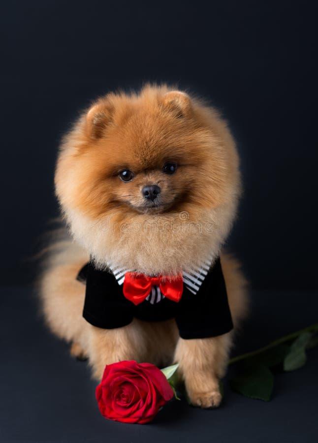 Pomeranian hund i en dräkt med en röd ros på mörk bakgrund Stående av en hund i en låg tangent royaltyfria bilder