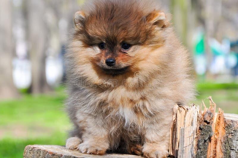 Pomeranian hund i en parkera Hunden sitter på ett träd arkivbilder