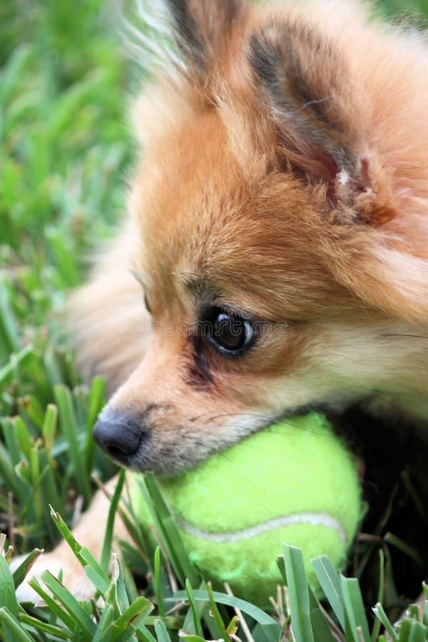 Pomeranian Hund mit Kugel stockfotografie