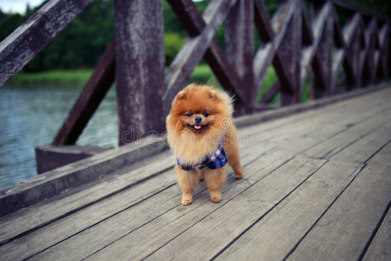 Pomeranian hund på en gå utomhus- hund härlig hund royaltyfri bild