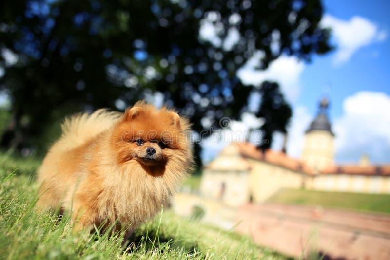 Pomeranian hund på en gå utomhus- hund härlig hund royaltyfria foton