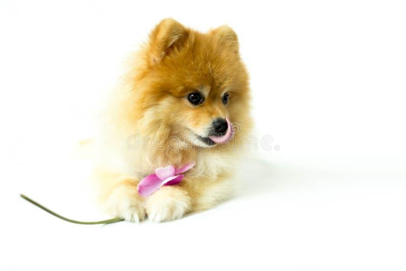 Pomeranian hund som in rymmer en blomma arkivbild