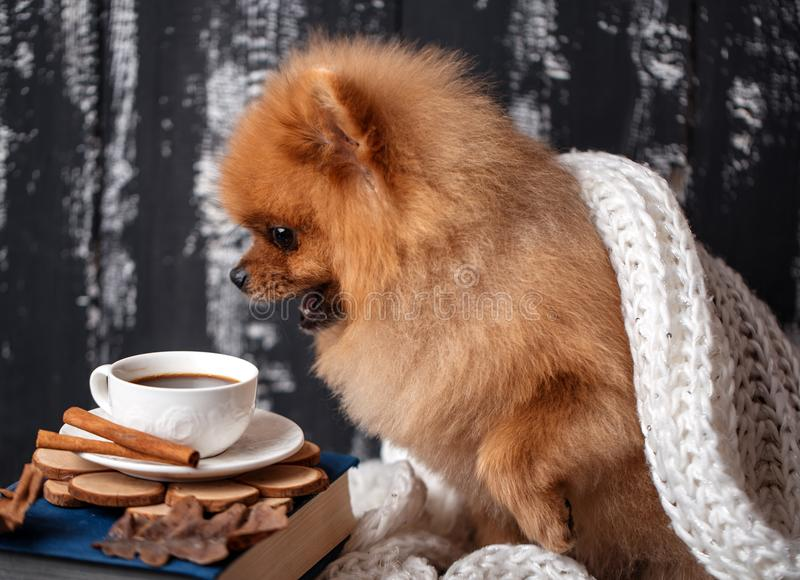 Pomeranian hund som slås in upp i en filt En bunt av böcker och en kopp kaffe Härlig hund med böcker royaltyfri foto