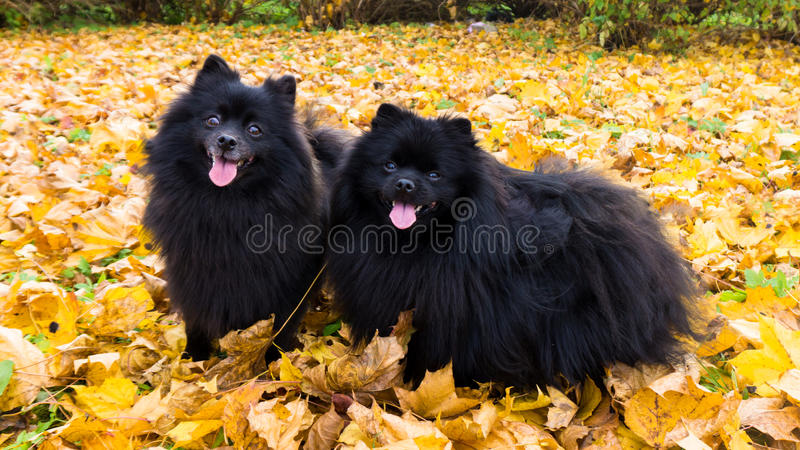 Pomeranian-Hunddeutsche Spitz-Herbstsaisonhaustiere lizenzfreie stockbilder